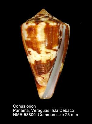 Conus orion