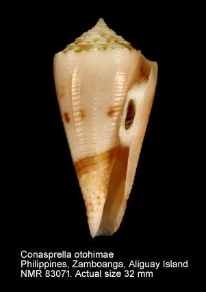 Conus otohimeae