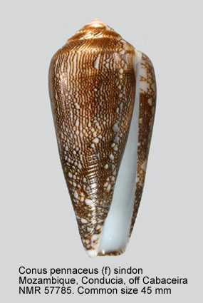 Conus pennaceus