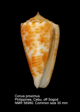 Conus proximus