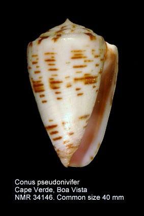 Conus pseudonivifer