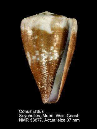 Conus rattus