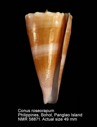 Conus roseorapum