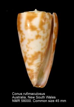 Conus rufimaculosus