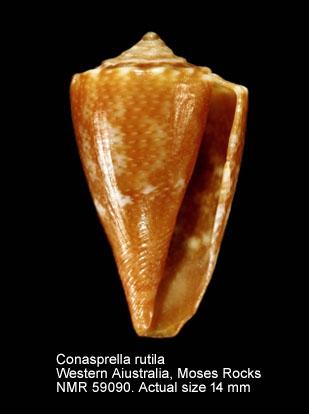 Conus rutilus