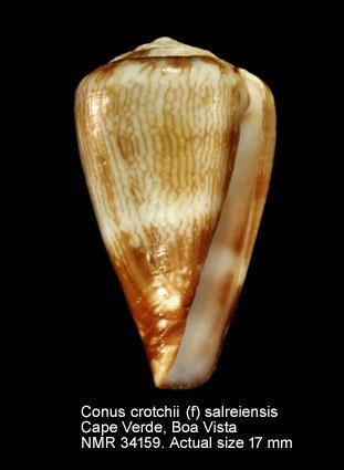 Conus salreiensis