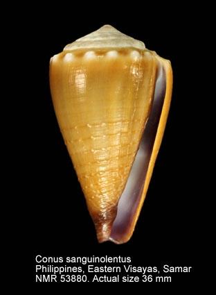 Conus sanguinolentus