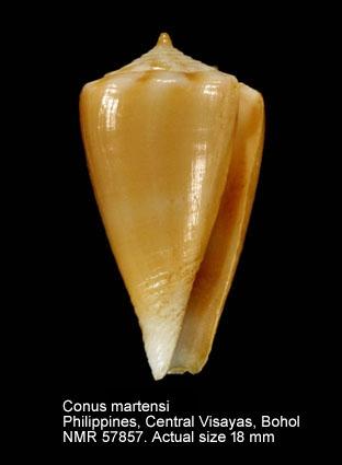 Conus sazanka