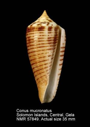 Conus scalptus