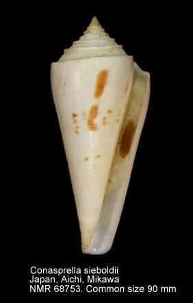 Conus sieboldii