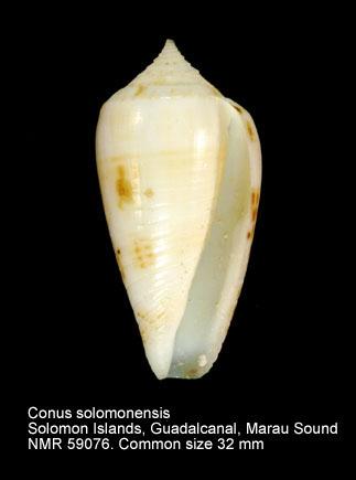 Conus solomonensis
