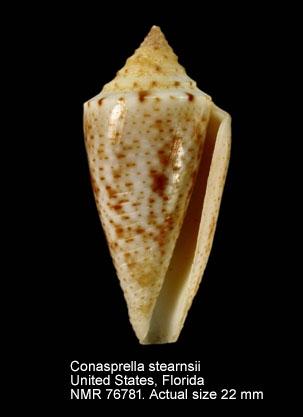 Conasprella stearnsii