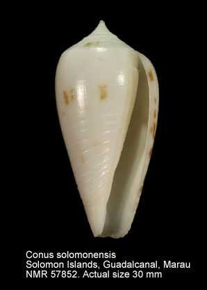 Conus stramineus
