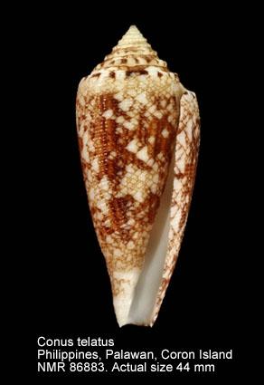 Conus telatus