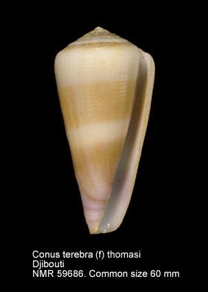 Conus terebra