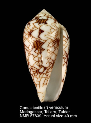 Conus textile
