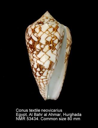 Conus textile neovicarius