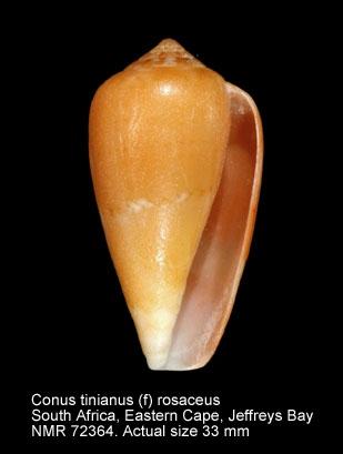 Conus tinianus