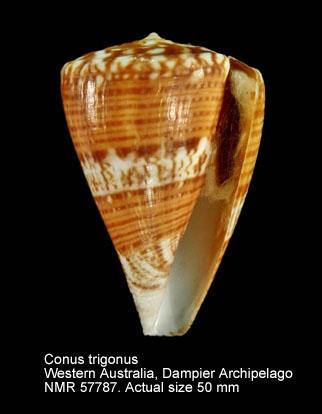 Conus trigonus