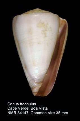 Conus trochulus
