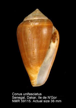 Conus unifasciatus