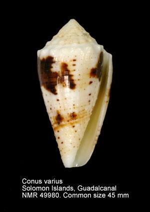Conus varius