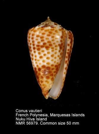 Conus vautieri