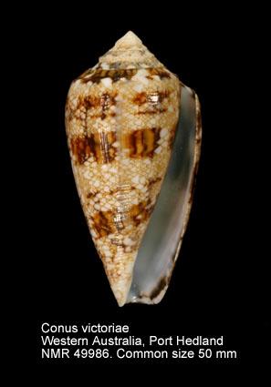 Conus victoriae
