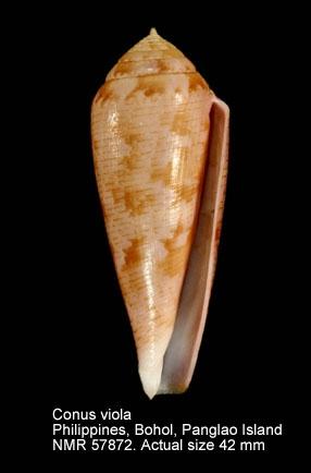 Conus viola