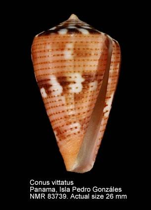 Conus vittatus