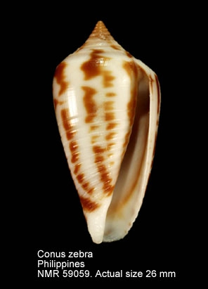 Conus zebra