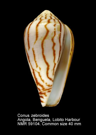 Conus zebroides