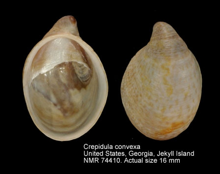 Crepidula convexa