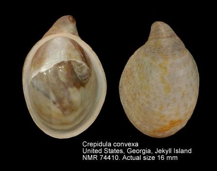 Crepidula convexa
