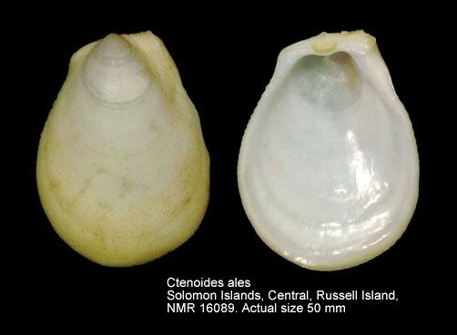 Ctenoides ales