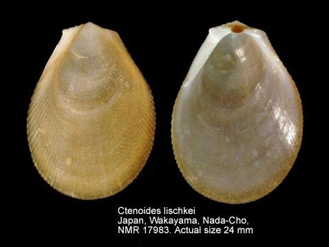 Ctenoides lischkei