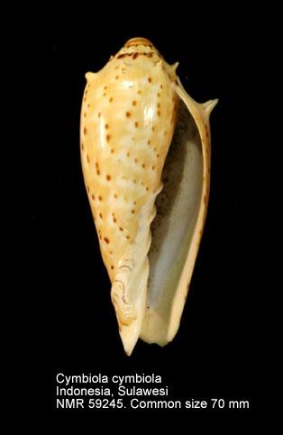 Cymbiola (Cymbiola) cymbiola