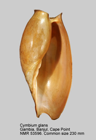 Cymbium glans