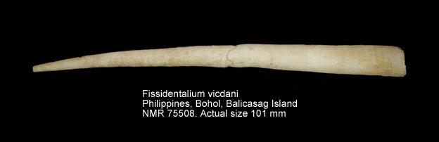 Fissidentalium vicdani