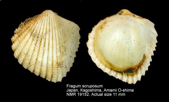Fragum scruposum