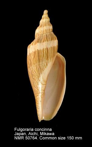 Fulgoraria (Psephaea) concinna