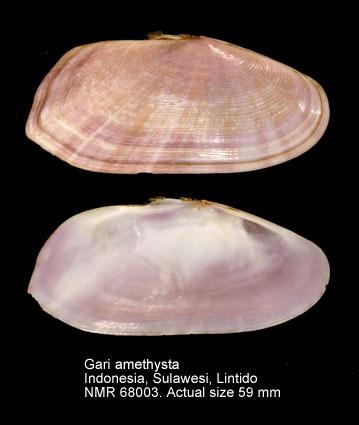 Gari amethystus