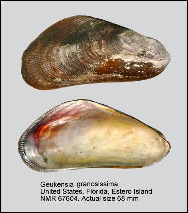 Geukensia granosissima