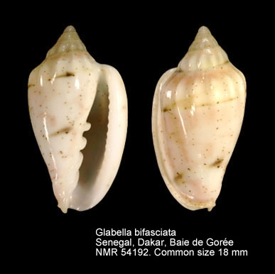Glabella bifasciata