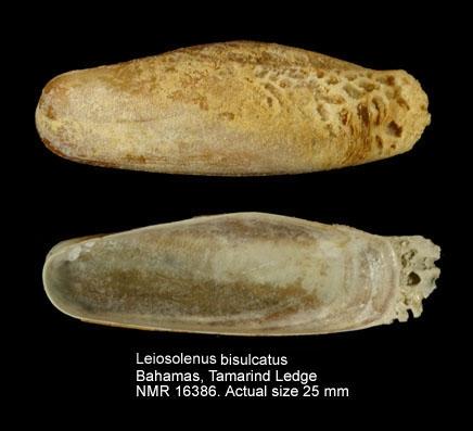 Leiosolenus bisulcatus