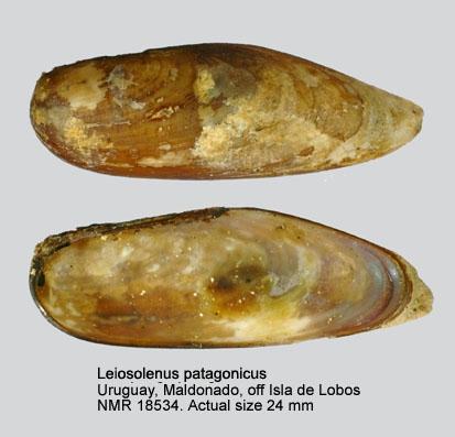 Leiosolenus patagonicus