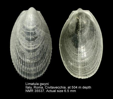 Limatula gwyni