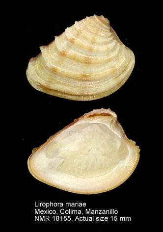 Lirophora mariae
