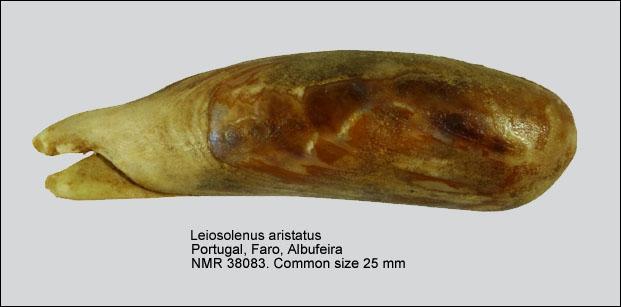 Lithophaga aristata