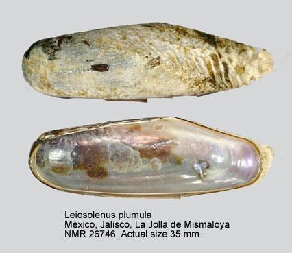Lithophaga plumula